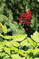 Actaea rubra ÖBG 2012-07-08 (03).jpg