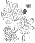 Actaea rubra drawing.png