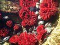 Actinia tenebrosa (Waratah anemone).jpg