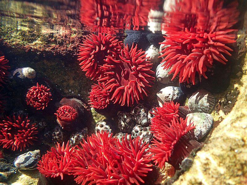 File:Actinia tenebrosa (Waratah anemone).jpg