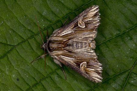 Actinotia polyodon, Lodz(Poland)01(js).jpg