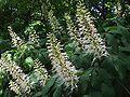 Aesculus parviflora 1-OB9.jpg