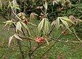 Aesculus parviflora kz13.jpg