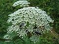 Aethusa cynapium in Caucasus.jpg