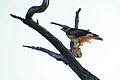 African Hawk Eagle (Aquila spilogaster) immature (17213088987).jpg