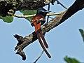 African Paradise Flycatcher RWD2.jpg