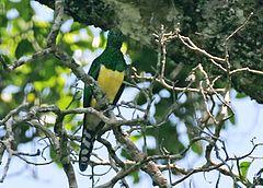 African emerald cuckoo (Chrysococcyx cupreus) in tree.jpg