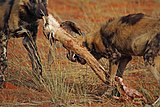 African wild dog (Lycaon pictus pictus) with springbok.jpg