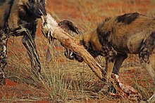 Wild African Dogs Eat Kid