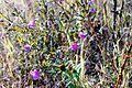 Agalinis tenuifolia NRCS.jpg