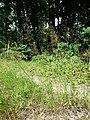 Agrostis capillaris sl1.jpg