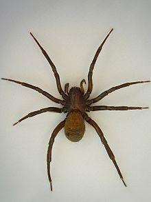Araignée pédatrice dans ARAIGNEE 220px-Agryroneta_aquatica_Weibchen