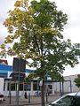 Ahorn Baum am Parkplatz Magaretenhof Schwerin.jpg