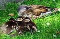 Aix galericulata (Küken) - Nymphenteich Zürichhorn 2013-06-06 15-18-15.JPG