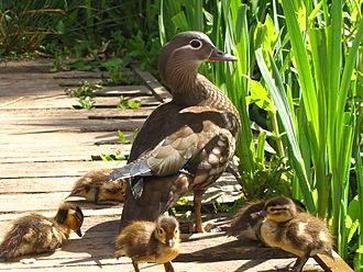 Precociality - A Mandarin duck (Aix galericulata) and her ducklings. Like other anseriformes, ducks are precocial animals; within two hours of hatching, the ducklings are normally led to the nearest area of water.