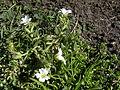 Akkerhoornbloem - Cerastium arvense - plant.jpg