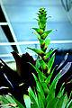Alcantarea heloisae flower spike (6404229479).jpg