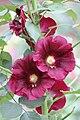 Alcea Purple Flower Pair.jpg