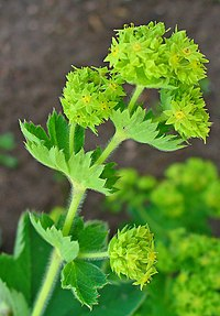 Alchemilla vulgaris 002.JPG