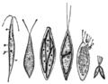 Alger, Chlorogonium euchlorum, Nordisk familjebok.png