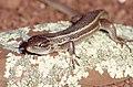 Algerian Psammodromus (Psammodromus algirus) (Thanks to Jean Nicolas) (43435671655).jpg