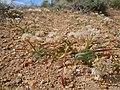 Allium anceps (23409458662).jpg