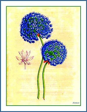 Allium caeruleum - Image: Allium caeruleum Lemaire