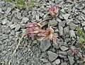 Allium crenulatum.jpg
