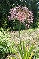 Allium cristophii kz05.jpg
