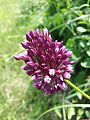 Allium rotundum sl11.jpg