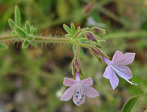Allophyllum - Allophyllum glutinosum