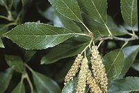 Alnus maritima leaves catkin