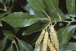 Alnus maritima leaves catkin.jpg