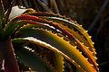 Aloe arborescens IMGP0270.jpg