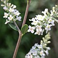 Aloysia gratissima (Verbenaceae) - flowers.jpg