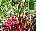 Alpinia purpurata-(Zingiberaceae).jpg