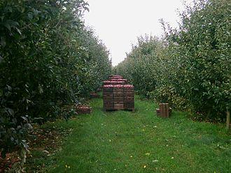 Altes Land - Harvest of apples in Rübke