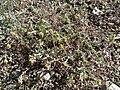 Alyssum desertorum var desertorum 1.jpg