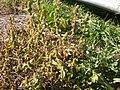 Amaranthus retroflexus (3703457603).jpg