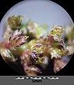 Amaranthus viridis sl36.jpg