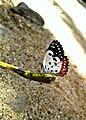 Amazing butterfly.jpg