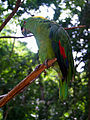 Amazona auropalliata -Macaw Mountain Bird Park -perch-8a.jpg