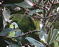 Amazona mercenarius Lora Andina Scaly-naped Parrot (14359607372).jpg