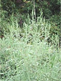 A ragweed, Ambrosia sp.