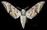Ambulyx maculifera MHNT CUT 2010 0 155 Assam, India male dorsal.jpg