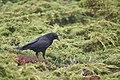 American Crow (45666088871).jpg
