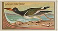 American Oyster Catcher, from the Game Birds series (N13) for Allen & Ginter Cigarettes Brands MET DP834655.jpg
