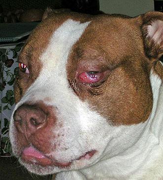 Masticatory muscle myositis - Acute MMM in an American Pit Bull Terrier