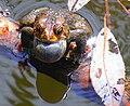 American Toad singing.jpg