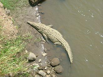 American crocodile - American crocodile